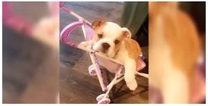Chrissy Teigen's dog in stroller